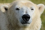 Ursus maritimus, Polar bear (Ursus maritimus)